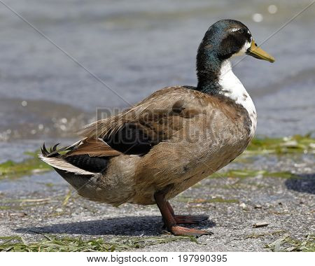 mallard duck on the shores of the lake