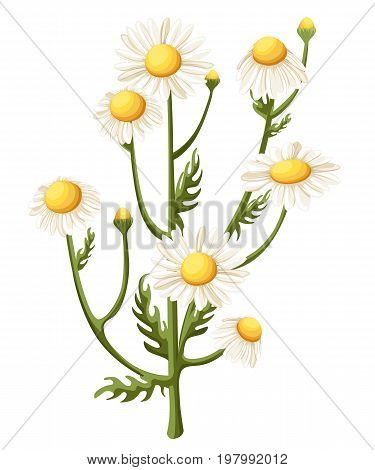 Bouquet realistic daisy, camomile flowers on white background. Vector illustration card camomile tea medical Web site page and mobile app design vector illustration.