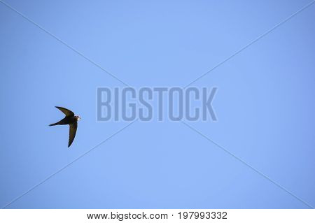 Common swift or Apus apus flying in air against blue sky background