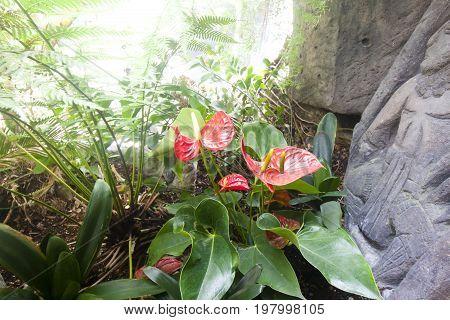 Anthurium Or Flamingo Flower Bloom In Tropical Garden.