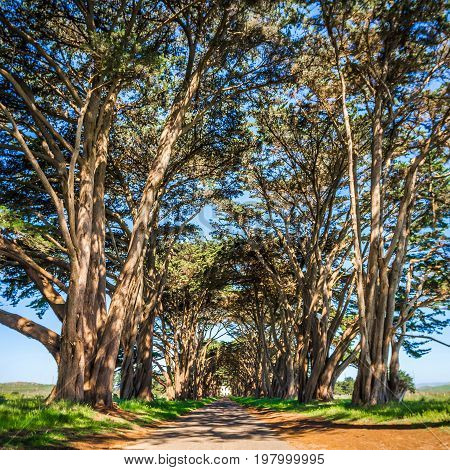 Cypres Tree Tunnel At Point Reyes  National Seashore
