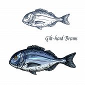 Bream fish vector sketch icon. Isolated sea or atlantic gilt-head bream or dorado fish. Isolated marine fauna symbol for seafood or fish food restaurant sign emblem, fishing club or fishery market poster