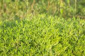 vegetation consisting of typically short plants with long narrow leaves, growing wild or cultivated on lawns and pasture, and as a fodder crop poster
