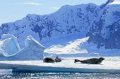 Crabeater seals on ice floe, Antarctic Peninsula, Antarctica poster
