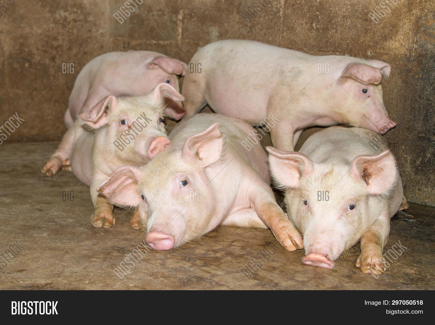 Small Piglet Farm  Image & Photo (Free Trial) | Bigstock