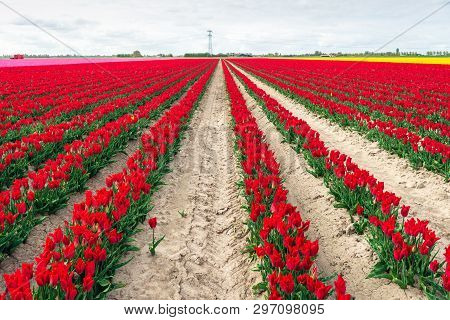 One Red Tulip Grows Remarkably Next To The Row With Many Other Red Tulips. The Photo Was Taken On Th