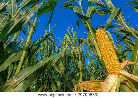 Ripe Corn On The Cob In Cultivated Field