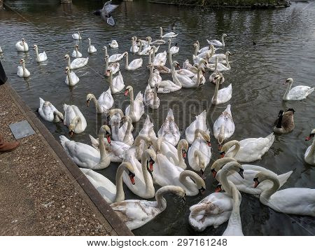 Swans Gather For Food On The River Avon In Stratford Upon Avon, England
