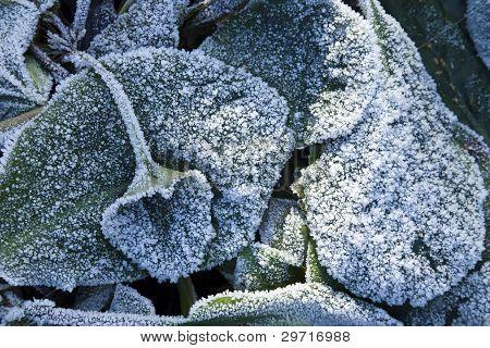 Elephant's Ears Plant In Heavy Frost