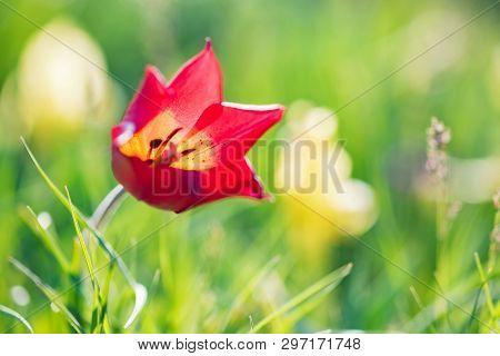 Close Up Schrencks Tulips Or Tulipa Tulipa Schrenkii In The Steppe