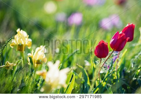 Schrencks Tulips Or Tulipa Tulipa Schrenkii In The Steppe