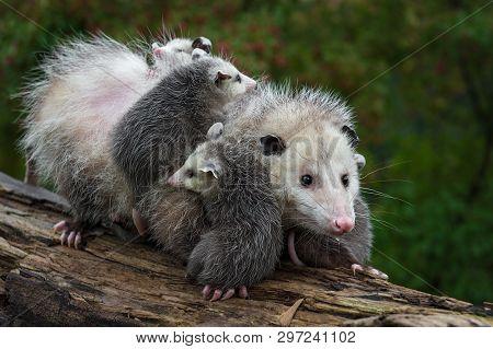 Opossum (didelphimorphia) Carries Joeys Across Log Summer - Captive Animals