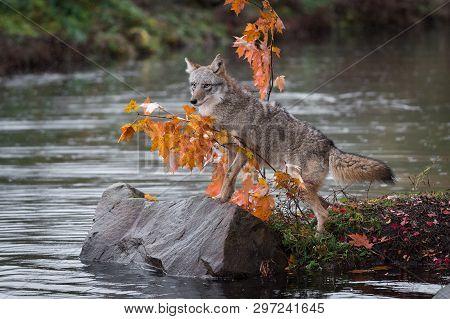 Coyote (canis Latrans) Steps Up On Rock Autumn - Captive Animal