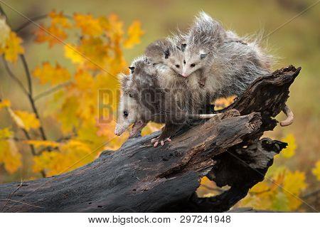 Opossum (didelphimorphia) Walks Down Log With Backful Of Joeys Autumn - Captive Animals