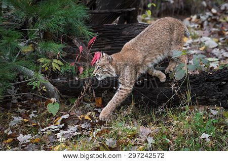 Bobcat (lynx Rufus) Steps Off Log Autumn - Captive Animal