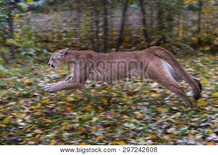 Cougar (puma Concolor) Runs Left Full Out Autumn - Captive Animal