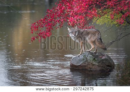 Coyote (canis Latrans) Looks Back From Atop Rock Autumn - Captive Animal
