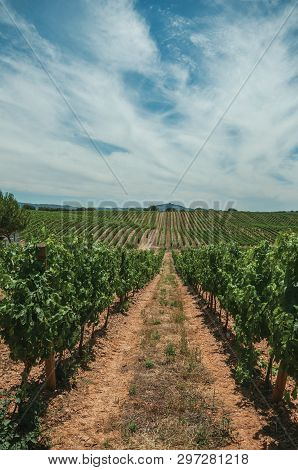 View Of Many Lined Vines Stretches As Far As The Eye Could See Going Up The Hill, In A Vineyard Near