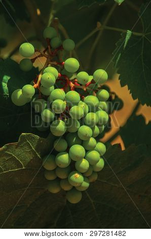 Close-up Of Unripe Grape Cluster Still Hanging On Twig Of Vine, In A Vineyard Near Estremoz. A Nice