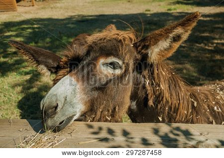 Close-up Of Nice Donkey Behind A Wooden Corral On A Sunny Day In A Farmstead Near Elvas. A Gracious