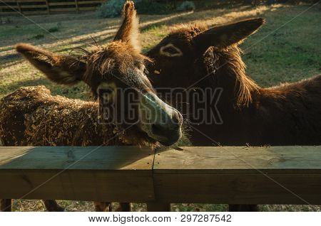 Close-up Of Nice Couple Of Donkeys Behind A Wooden Corral, On A Sunny Day In A Farmstead Near Elvas.