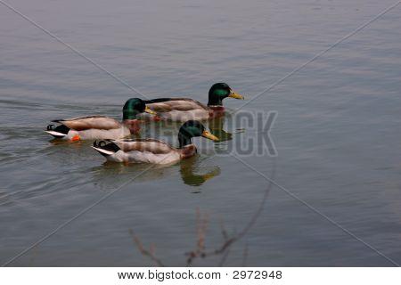 Trio Of Ducks