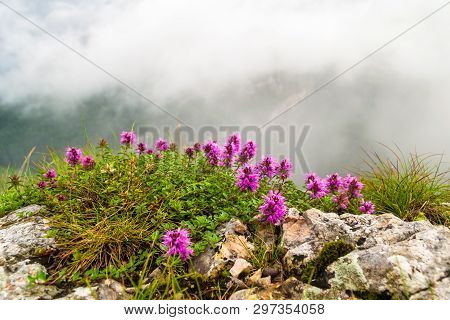 Rhododendron Myrtifolium Bush Growing Between Rocks, At The End Of Wild Ferenc Via Ferrata Route, On