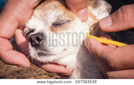 Owner Taking Care Of The Dog Of Chihuahua Breed And Remove Tick Who Mite Bit Into The Skin. Mite Suc