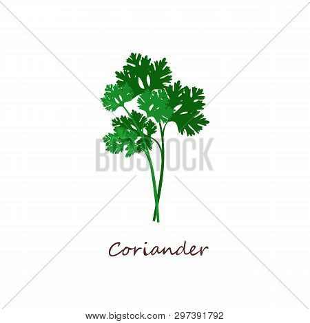 Sprig Of Coriander. Green Leaves, Parsley, Plant. Cooking Herbs Concept. Vector Illustration Can Be
