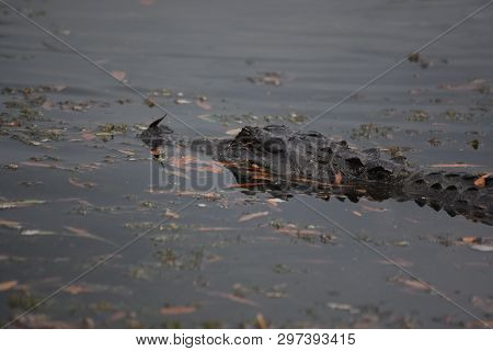 Leaves In The Swamp Water Surrounding An Alligator In Louisiana.