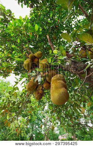 Closeup Of Ripe Jackfruit On A Tree In Thailand