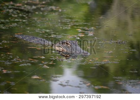 Stunning Gator With A Reflection Of His Face In The Water