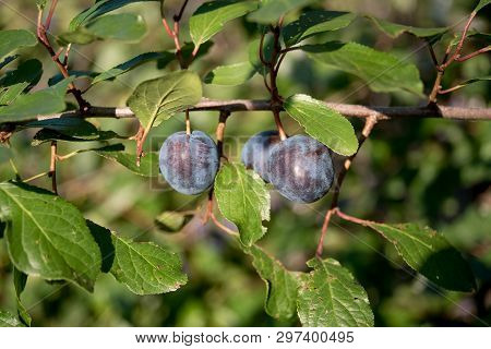 Prunus Spinosa Blackthorn, Or Sloe . The Fruits Of Blackthorn Prunus Spinosa . Prunus Spinosa Berrie