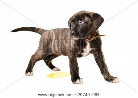 Little Cute Puppy Pissing On The Floor Isolated On White Background