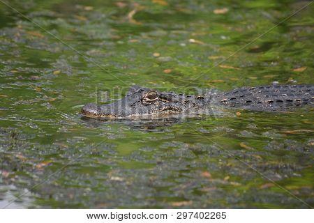 Alligator Surrounding By Murky Green Bayou Waters.