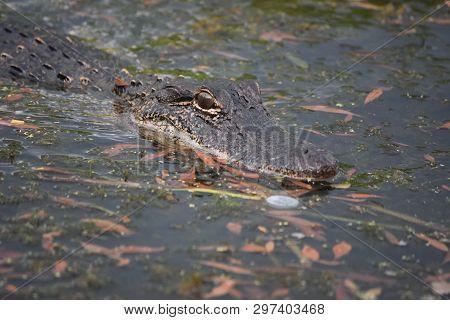 An Alligator Prowling Through Shallow Bayou Waters Of Louisiana.