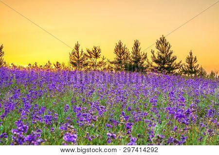 Beautiful Spring Landscape With  Flowering Purple Flowers In Meadow And Sunrise. Wildflowers Bloomin