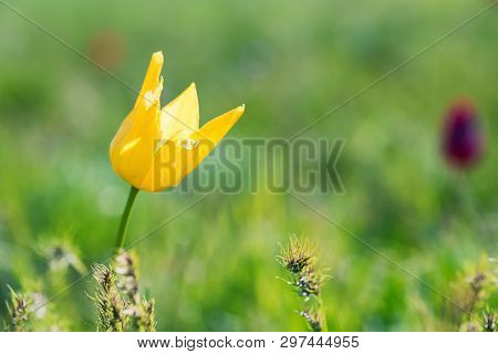 Close Up Yellow Schrencks Tulip Or Tulipa Tulipa Schrenkii In The Steppe