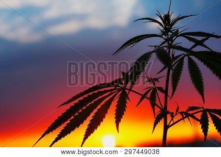 Cbd Oil Hemp Products. Medicinal Cannabis With Extract Oil. Medical Marijuana And Cannabidiol. Growi