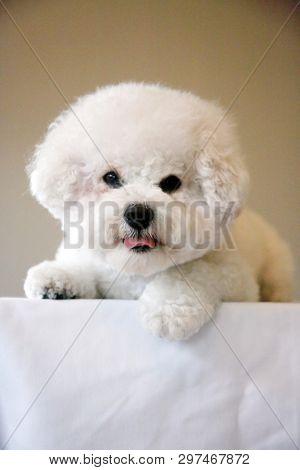 Bichon Frise. Purebred Bichon Frise Dog. Small White dog. 10 lb. female bichon frise dog. Pet Portraits. Smiling and Happy Dog.