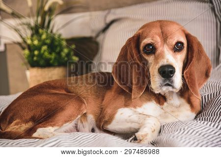 Dog In Owners Bed Or Sofa. Lazy Beagle Dog Tired Sleeping Or Waking Up. Yawning With Long Tongue Out