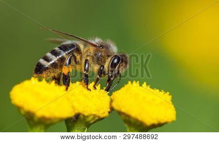 Detail Of Bee Or Honeybee In Latin Apis Mellifera, European Or Western Honey Bee Pollinated Of The Y