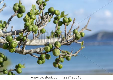 Unripe green figs fruits riping on fig tree close up with blue sky background poster