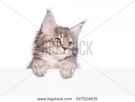 Maine Coon gray kitten holding sign or banner. Funny pet cat showing placard with space for text. Beautiful domestic kitty with blank board, isolated on white background.