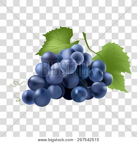 Vector Realistic Fruit Illustration. Drawing Of A Beautiful Blue Grape.vector Design Elements For Ca