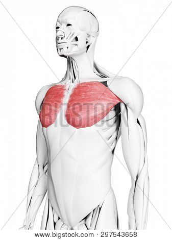 3d rendered medically accurate illustration of the pectoralis major