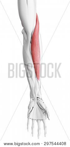 3d rendered medically accurate illustration of the brachioradialis