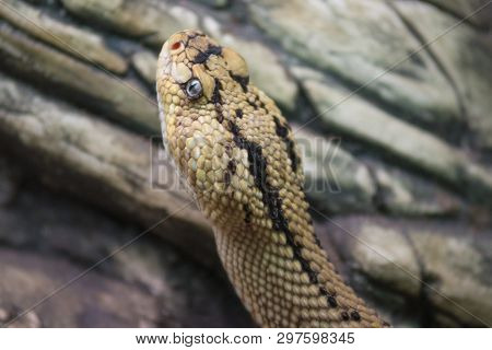 Rattlesnake crotalus close up view. Dangerous venomous snake poster