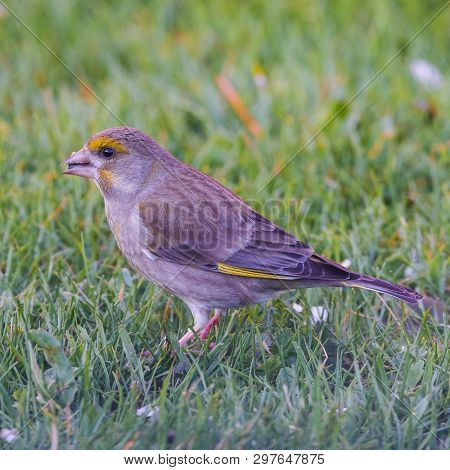 Male Greenfinch On Lawn With Black Seed In Beak