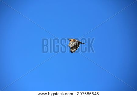 Red-Shouldered Hawk. A pair of Red-Shoulder Hawks collect branches to build a nest in a tree.
